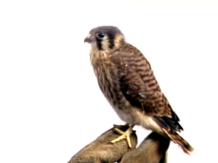 Falky the Kestrel